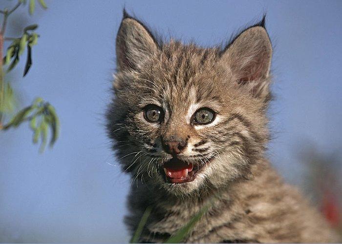 Bobcat Greeting Card featuring the photograph Bobcat Kitten by Tim Fitzharris