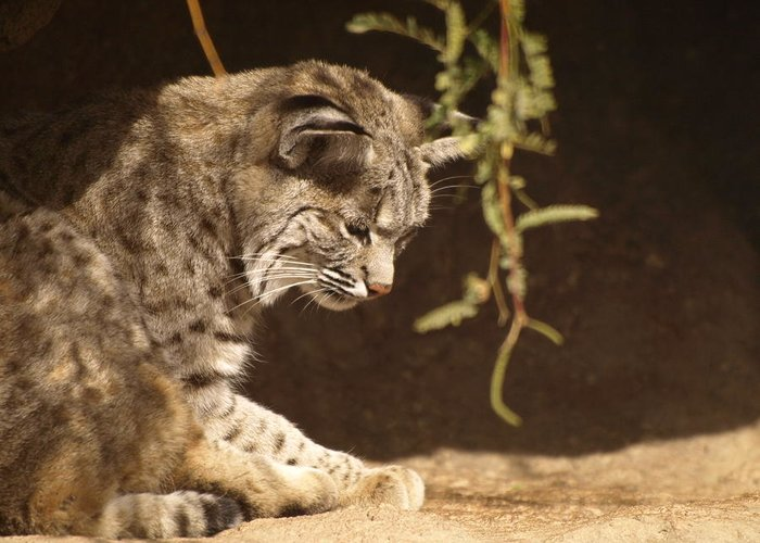 Peterson Nature Photography Greeting Card featuring the photograph Bobcat by James Peterson