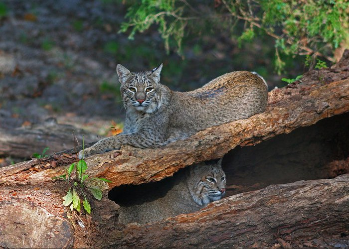 Bobcat Greeting Card featuring the photograph Bobcats At Rest by Jean Clark
