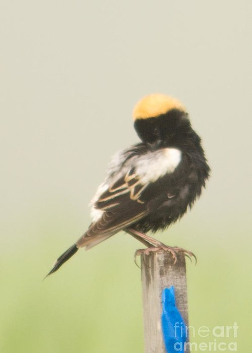 Bobolink Greeting Card featuring the photograph Bobolink Preening by Victoria Dauphinee