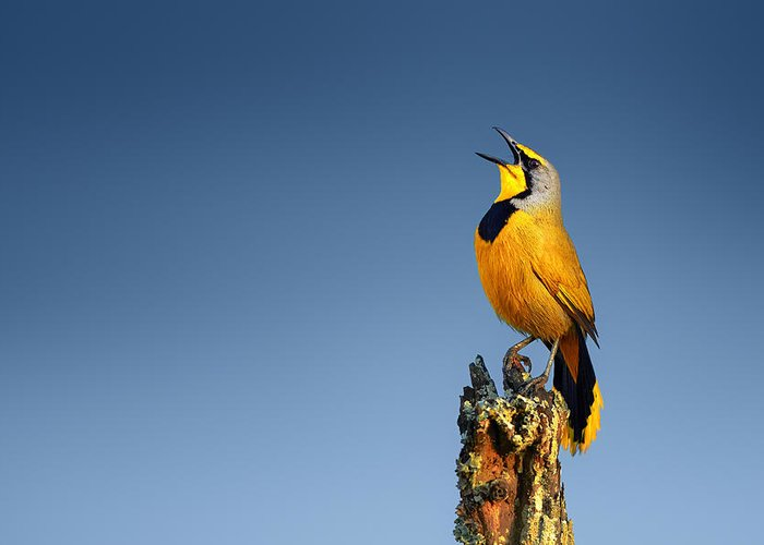 Bokmakierie Greeting Card featuring the photograph Bokmakierie Bird Calling by Johan Swanepoel