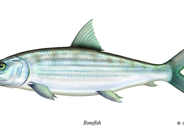 Charles Greeting Card featuring the painting Bonefish by Charles Harden