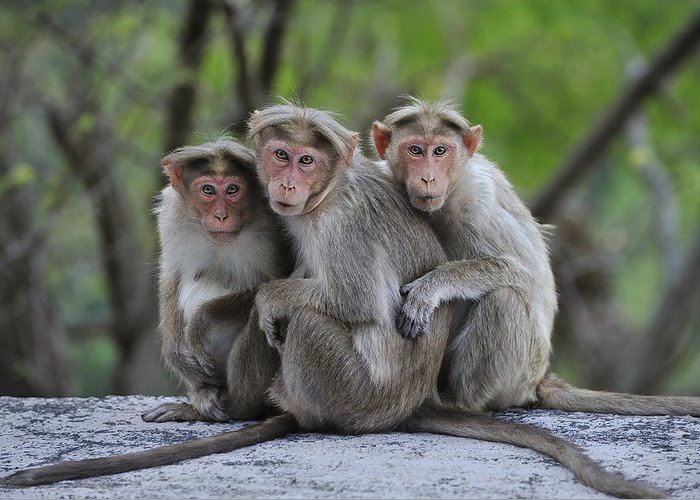 Thomas Marent Greeting Card featuring the photograph Bonnet Macaque Trio Huddling India by Thomas Marent
