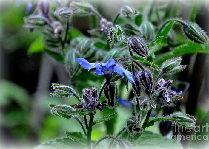 Borage Greeting Card featuring the photograph Borage by Tanya Searcy
