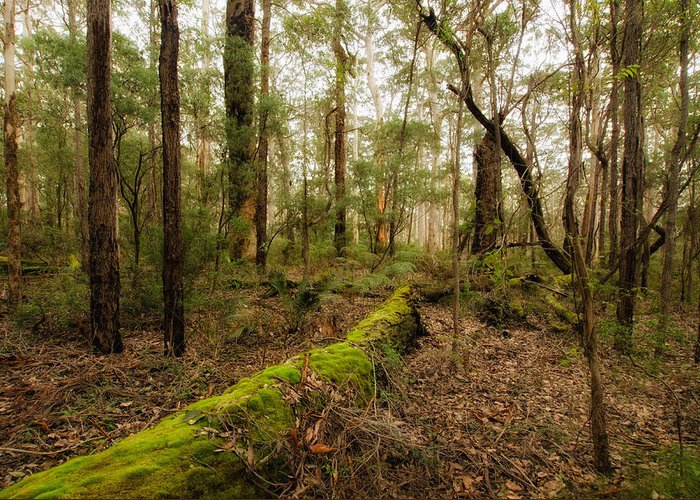 Boranup Forest Greeting Card featuring the photograph Boranup Forest - Western Australia by Daniel Carr