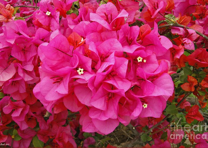 Easter Sunday Flowers 2013 Greeting Card featuring the photograph Bougainvillea Flowers by Kenny Bosak