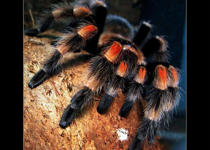 brachypelma-smithi-redknee-tarantula-daliana-pacuraru.jpg
