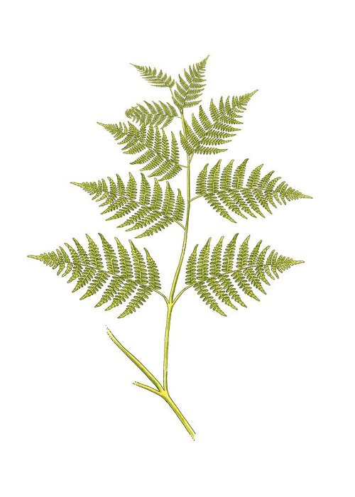 Cutout Greeting Card featuring the photograph Bracken (pteridium Aquilinum), Artwork by Science Photo Library