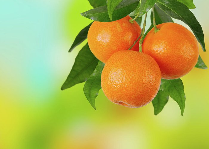 Hanging Greeting Card featuring the photograph Branch Of Tangerines by Sashahaltam