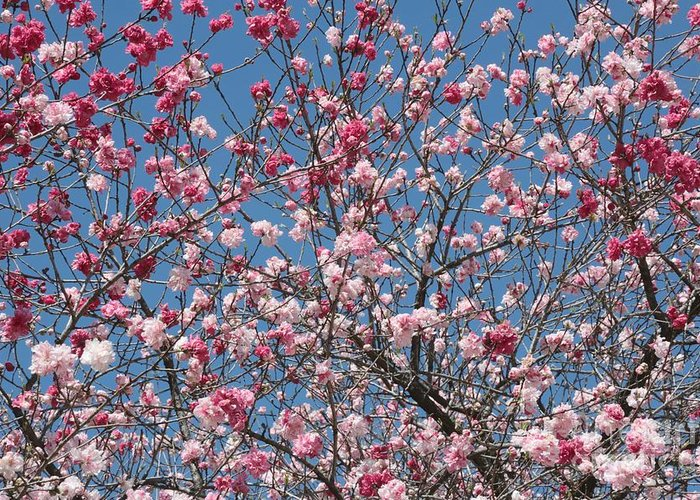 Spring Blossoms Greeting Card featuring the photograph Branches And Blossoms by Carol Groenen
