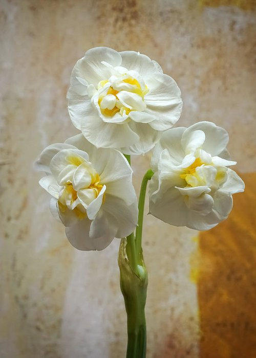 Bridal Crown Greeting Card featuring the photograph Bridal Crown Narcissus Square by Lutz Baar