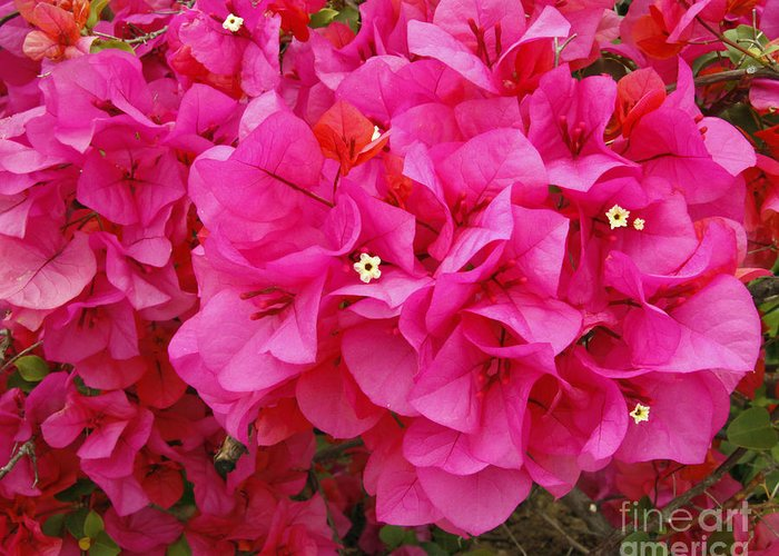 Easter Sunday Flowers 2013 Greeting Card featuring the photograph Bright Pink Bougainvillea Flowers by Kenny Bosak