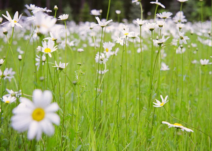 Film Greeting Card featuring the photograph Brilliant Daisies by Aaron Aldrich