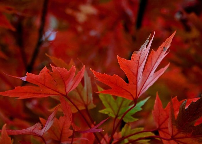 Maple Leaves Greeting Card featuring the digital art Brilliant Red Maples by Linda Unger