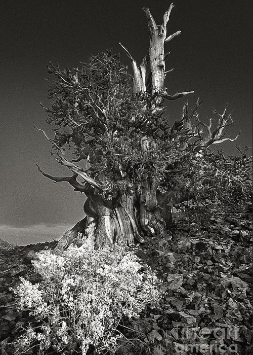 North America Greeting Card featuring the photograph Bristlecone And Wildflowers In Black And White by Dave Welling