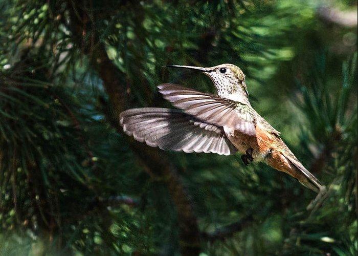 Broad-tailed Hummingbird Greeting Card featuring the photograph Broad-tailed Hummingbird by Dawn Key