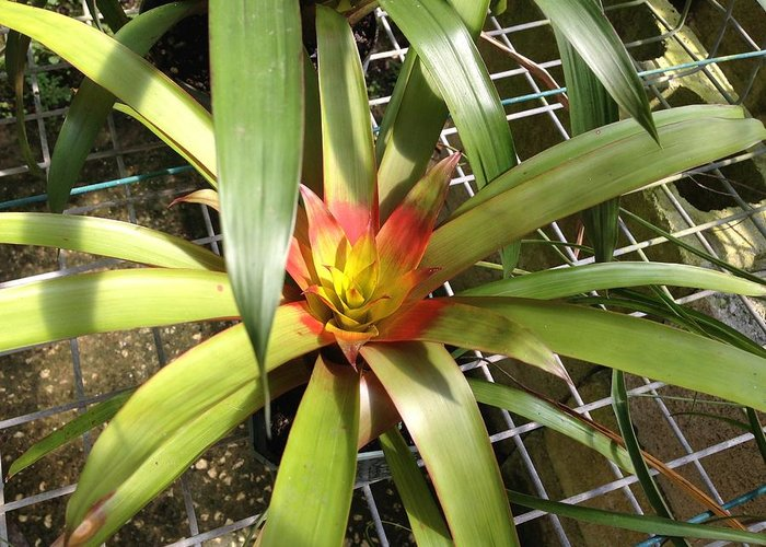 Bromeliad Greeting Card featuring the photograph Bromeliad In Barbados by Ron Torborg