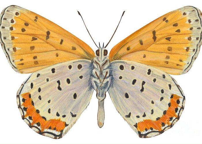 Zoology; No People; Horizontal; Close-up; Full Length; White Background; One Animal; Animal Themes; Nature; Wildlife; Symmetry; Fragility; Wing; Animal Pattern; Antenna; Entomology; Illustration And Painting; Spotted; Yellow; Bronze Greeting Card featuring the drawing Bronze Copper Butterfly by Anonymous