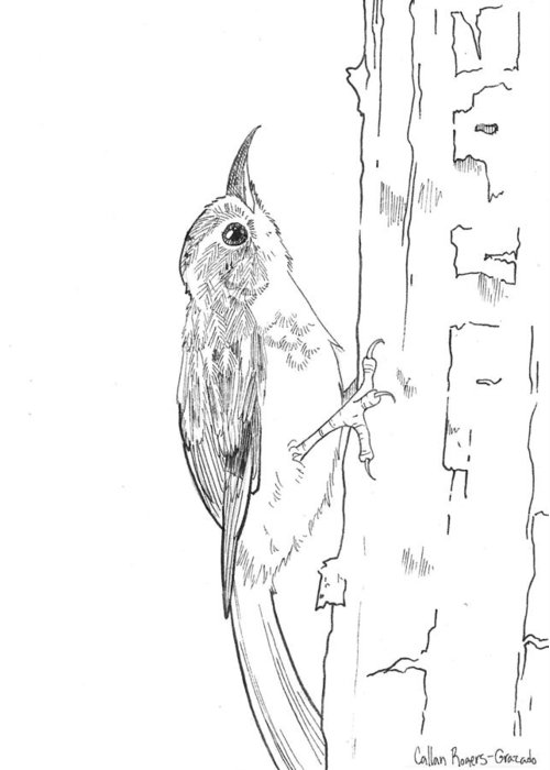 Brown Creeper Greeting Card featuring the drawing Brown Creeper by Callan Rogers-Grazado