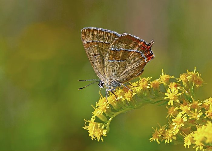 Animal Greeting Card featuring the photograph Brown Hairstreak Butterfly by Science Photo Library