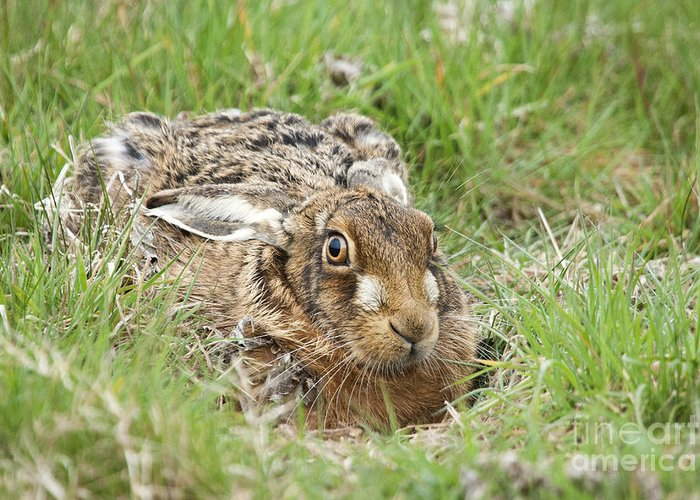 Essex. Aerodrome Greeting Card featuring the photograph Brown Hare by Philip Pound