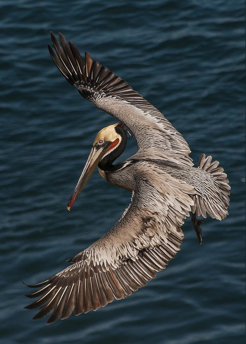 Photography Greeting Card featuring the photograph Brown Pelican Landing 2 by Lee Kirchhevel