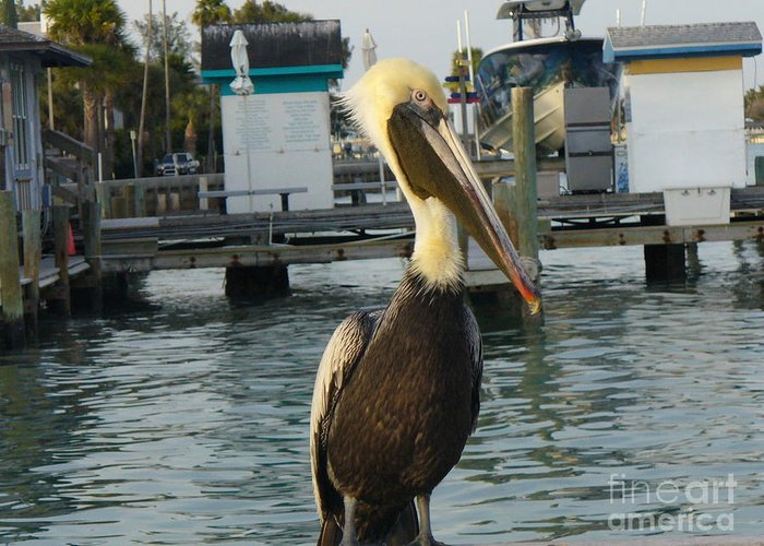 Wildlife Greeting Card featuring the photograph Brown Pelican by Lingfai Leung