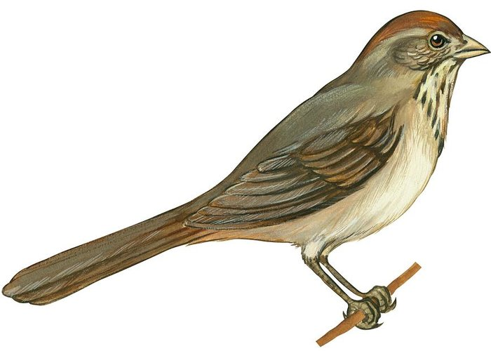 No People; Horizontal; Side View; Full Length; White Background; One Animal; Wildlife; Close Up; Illustration And Painting; Zoology; Bird; Branch; Wing; Feather; Perching; Beak; Tail; Brown; Brown Towhee; Pipilo Fuscus Greeting Card featuring the drawing Brown Towhee by Anonymous