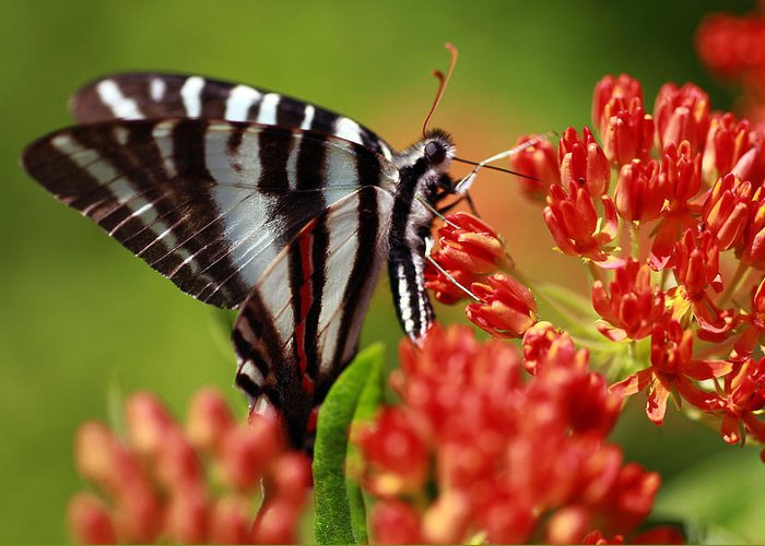 Butterfly Greeting Card featuring the photograph Brunch by Shelby Waltz