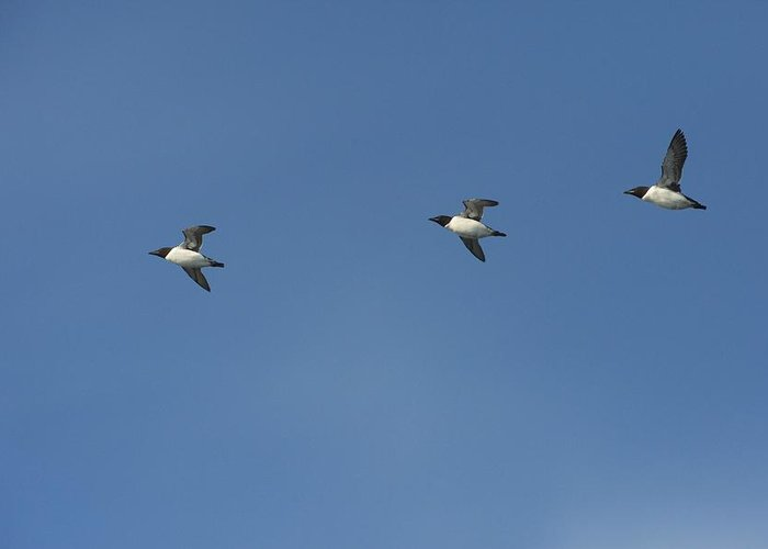 Nature Greeting Card featuring the photograph Brunnich's Guillemots In Flight by Science Photo Library