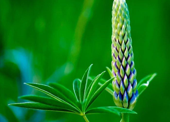 Bud And Leaf Of A Lupin Greeting Card featuring the photograph Bud And Leaf Of A Lupin by Torbjorn Swenelius