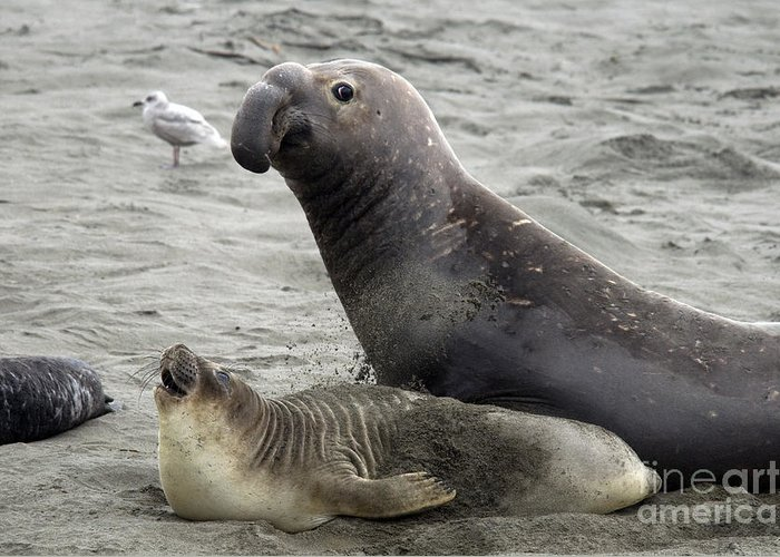 Fauna Greeting Card featuring the photograph Bull Approaches Cow Seal by Mark Newman