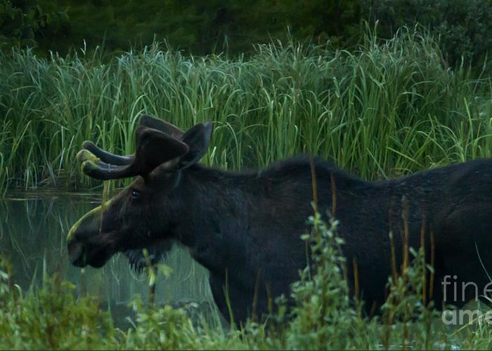 Moose Greeting Card featuring the photograph Bull Moose  #5701 by J L Woody Wooden