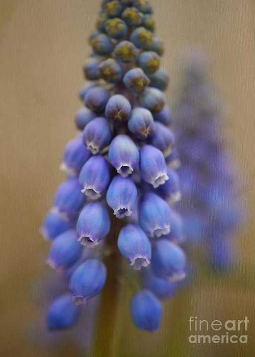 Fine Art Grape Hyacinth Greeting Card featuring the photograph Bunch Of Grapes by Irina Wardas