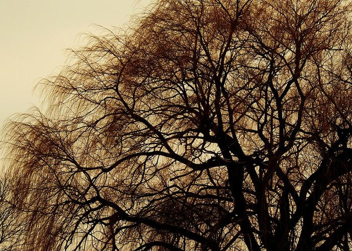 Beautiful Winter Willow Tree  Yellow Greeting Card featuring the photograph Burlington Willow by Todd Sherlock