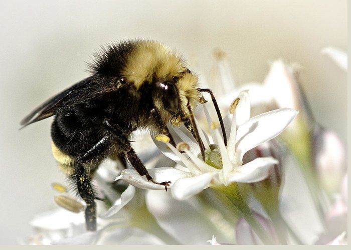 Bee Greeting Card featuring the photograph Busy As A Bee by Betty Depee