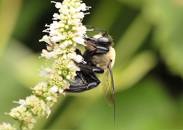 Bumble Bees Greeting Card featuring the photograph Busy As A Bee by Michelle DiGuardi