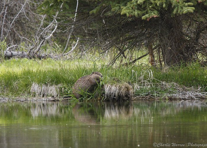 Grand Tetons Greeting Card featuring the photograph Busy Beaver by Charles Warren
