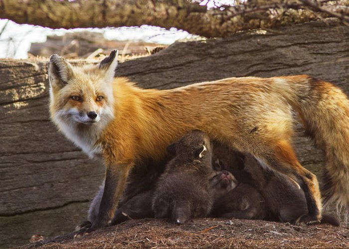 Fox Greeting Card featuring the photograph Busy Mommy by Mircea Costina Photography