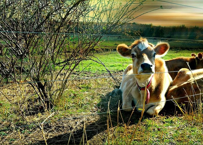 Cow Greeting Card featuring the photograph Buttercup by Diana Angstadt