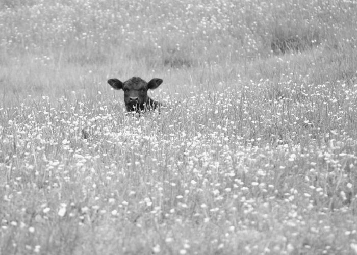 J.d. Grimes Greeting Card featuring the photograph Buttercup In Black-and-white by JD Grimes