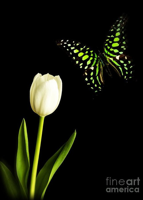 Tulip Greeting Card featuring the photograph Butterfly And Tulip by Edward Fielding