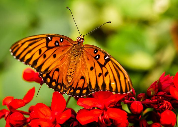 Animal Greeting Card featuring the photograph Butterfly Beauty by Teri Virbickis