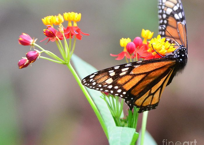 Butterfly Greeting Card featuring the photograph Butterfly Flower - Gossamer Wings Embrace Candy Blossoms by Wayne Nielsen