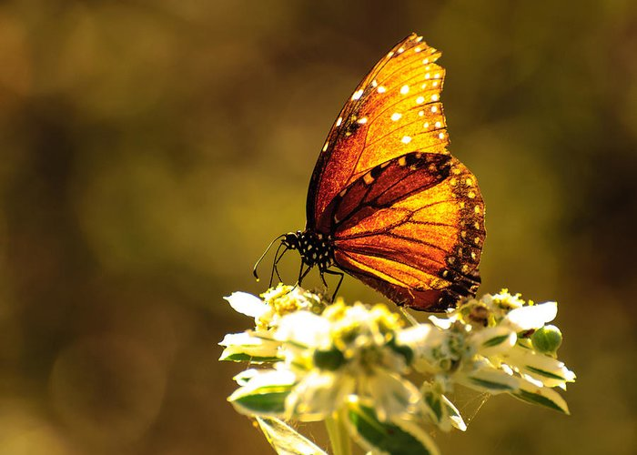 Butterfly Greeting Card featuring the photograph Butterfly In Sun by John Johnson