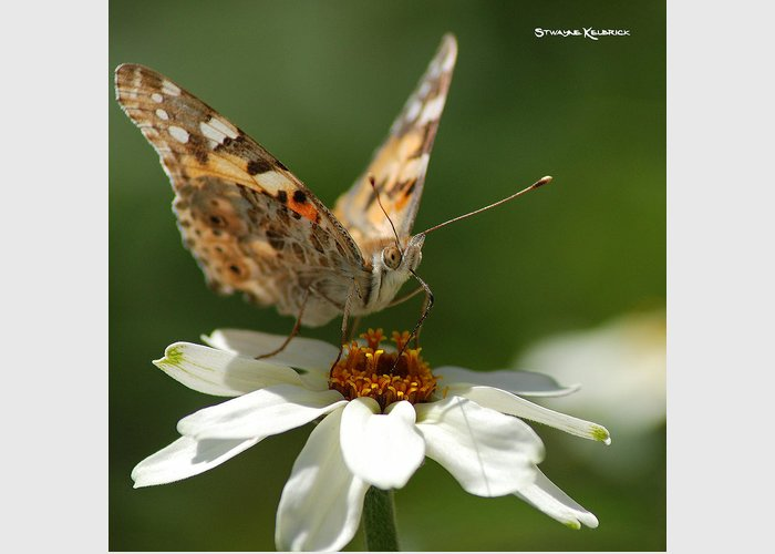 Butterfly Greeting Card featuring the photograph Butterfly Macro Photography by Stwayne Keubrick