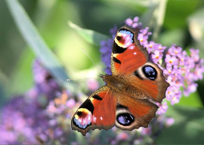 Butterfly Greeting Card featuring the photograph Butterfly On Buddleia by Gordon Auld