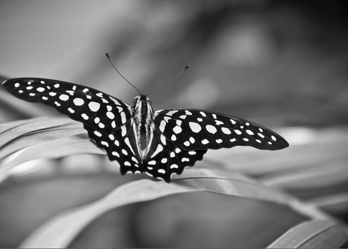 Butterfly Black & White Greeting Card featuring the photograph Butterfly Resting by Ron White