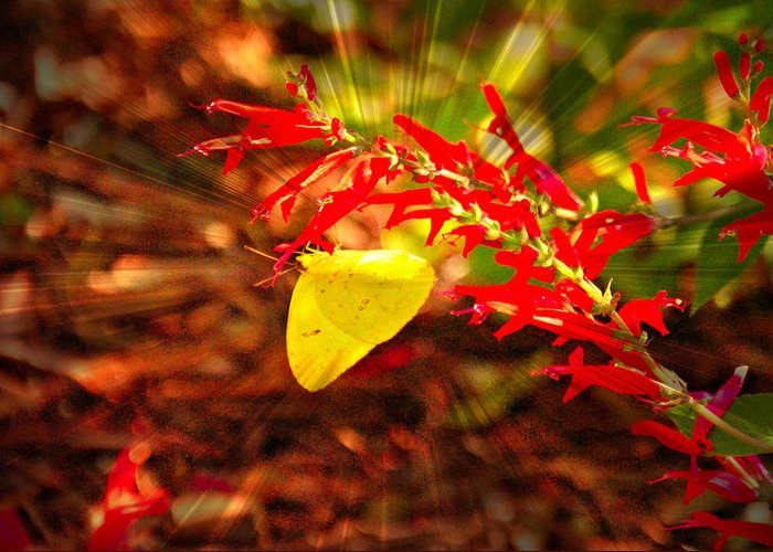 Yellow Greeting Card featuring the photograph Butterfly With Flare by Jennifer Groff