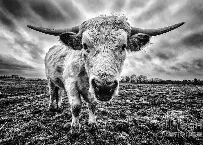 Cadzow Cattle Greeting Card featuring the photograph Cadzow White Cow Female by John Farnan